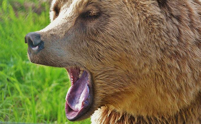 Медведя вместо пропавшего пенсионера нашли волонтеры