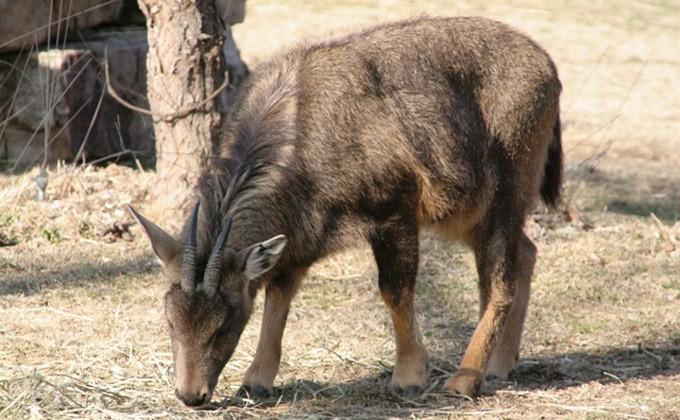 Редкостный козел прилетел вНовосибирск изФранции