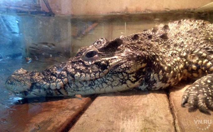 ВНовосибирском зоопарке решили «квартирный вопрос» для крокодилов