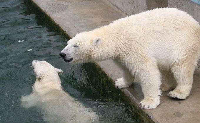 Белому медвежонку дали имя вновосибирском зоопарке