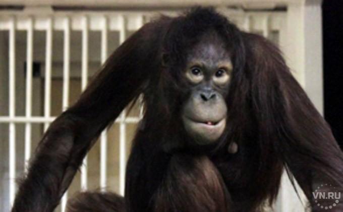 Орангутан Бату девять лет ждал красавицу-невесту Мишель