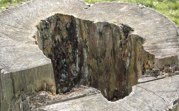 Скелет в кандалах нашли в дупле старой сосны в Сузуне