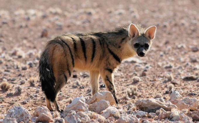 ВНовосибирский зоопарк впервый раз привезли земляных волков