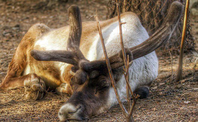 Чита: Северных оленей непустили нарейс Новосибирск