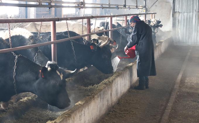 Почему крестьяне избавляются от коров в Чистоозерном районе