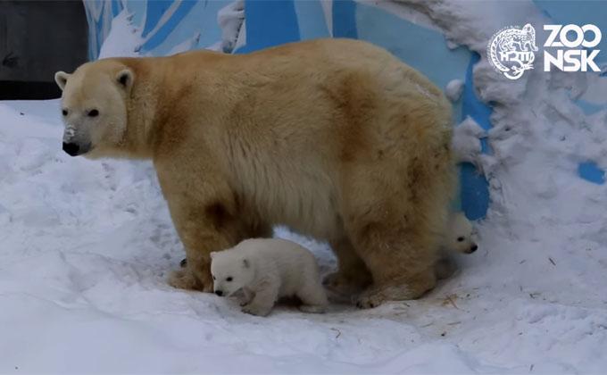 Белые медвежата вышли погулять в Новосибирском зоопарке
