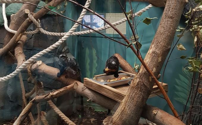 Белогубые-краснобрюхие чудные обезьянки прибыли вновосибирский зоопарк изГермании