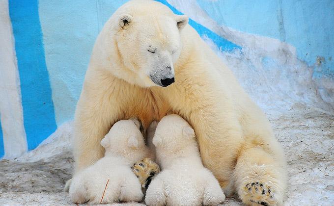 Топ-10 имен для белых медвежат назвал Новосибирский зоопарк